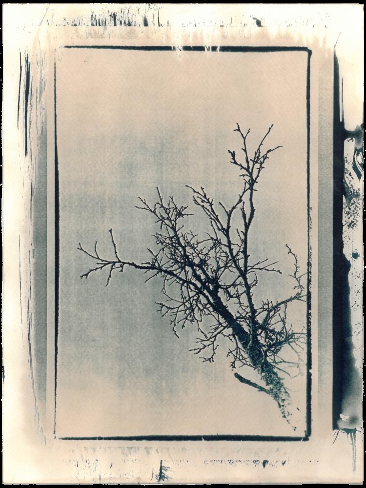 Cyano_Baum8